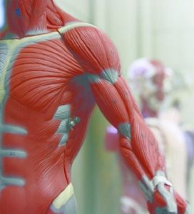 Advanced Anatomy for Medical Massage Therapy Near Asheville NC